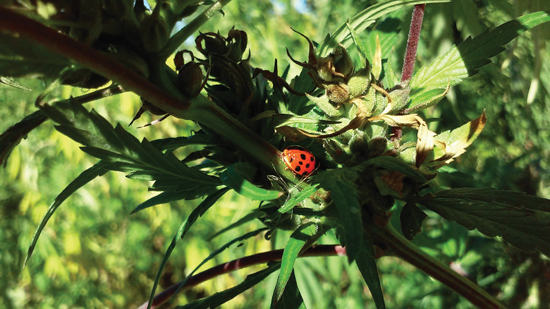 The state's seed certification program aims to better support farmers looking to add the crop. Photo courtesy of Grow Hemp Colorado